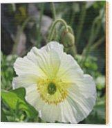 White Iceland Poppy Wood Print