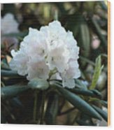 White Inflorence Of  Rhododendron Plant Wood Print