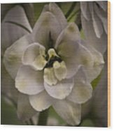 White Larkspur Close Up By Jean Noren Wood Print