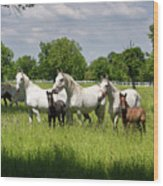 White Lipizzaner Mares Horse Breed With Dark Foals Grazing In A  Wood Print