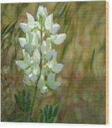 White Lupin Lupinus Albus Wood Print