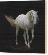 White Lusitano Horse Walking Wood Print