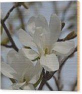 White Magnolia Blooming In Spring Wood Print