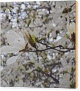 White Magnolia Wood Print