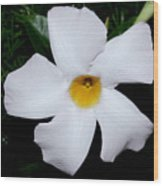 White Mandevilla Wood Print