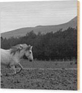 White Mare Gallops #1 - Panoramic Black And White Wood Print