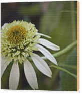 White Milkshake Coneflower Wood Print