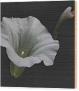 White Morning Glory Wood Print