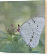 White Morpho Butterfly Wood Print
