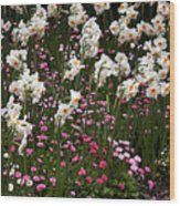 White Narcissus With Pink English Daisies In A Spring Garden Wood Print