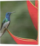 White-necked Jacobin Wood Print