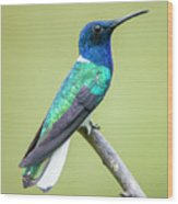 White Necked Jacobin Trinidad Wood Print