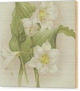 White Orchids   Eucharis Sanderiana Wood Print