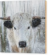 White Park Cattle In The Snow Wood Print