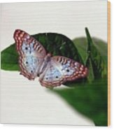 White Peacock Butterfly 2 Wood Print