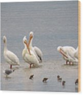 White Pelicans And Friends Wood Print