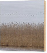 White Pelicans Fly Over Reed Bed On Lake  Wood Print