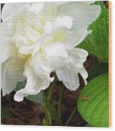 White Peonia Wood Print