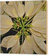 White Poinsettia Wood Print