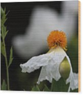 White Poppy  Wood Print