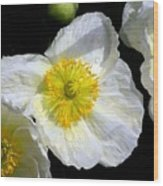White Poppy Trio Photograph Wood Print