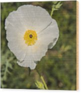 White Poppy With Buds Wood Print