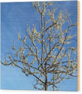 White Redbud Tree In May Wood Print