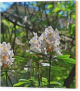 White Rhododendron Blooms Wood Print