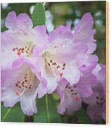 White Rhododendron Flowers With A Purple Fringe Wood Print