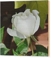 White Rose After Rain 1 Wood Print