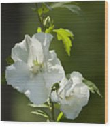 White Rose Of Sharon Squared Wood Print by Teresa Mucha