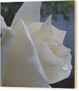 White Rose With Dew Drops Wood Print