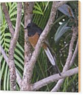 White Rumped Shama Wood Print