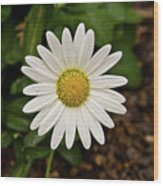 White Shasta Daisy In The Rain Wood Print