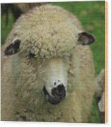 White Sheep Wood Print