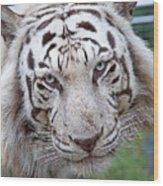 White Siberian Tiger Wood Print