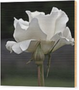 White Simplicity Rose Profile Wood Print