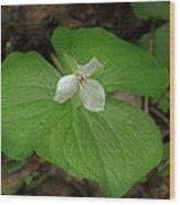 White Spring Trillium Wood Print