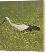 White Stork Looking For Frogs Wood Print