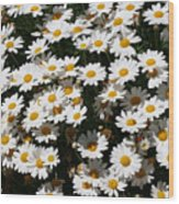 White Summer Daisies Wood Print