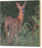 White-tail Deer Wood Print