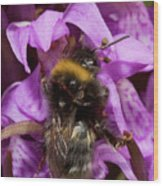 White-tailed Bumblebee On Southern Marsh Orchid Wood Print