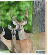 White-tailed Deer Family Wood Print