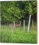 White Tailed Deer Wood Print