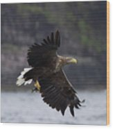 White-tailed Eagle Against Cliffs Wood Print