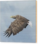 White-tailed Eagle Against Clouds Wood Print