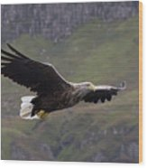 White-tailed Eagle Approaches Wood Print