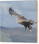 White-tailed Eagle On Mull Wood Print
