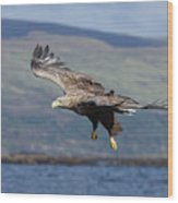 White-tailed Eagle Over Loch Wood Print