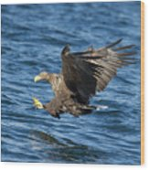 White-tailed Eagle Taking Fish Wood Print